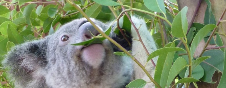 All the eucalyptus leaves for our koalas are grown on our local plantation